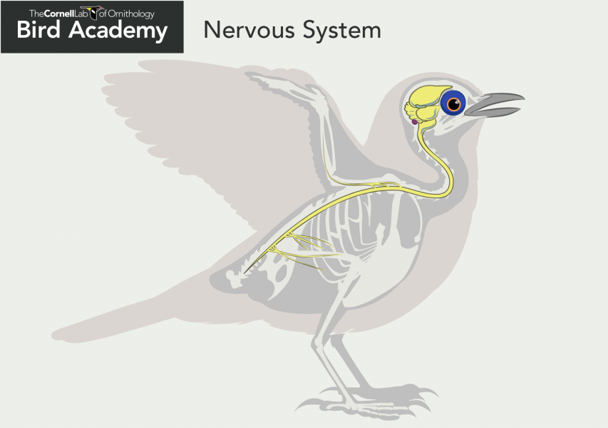 Bird Anatomy-Nervous System Brain Areas