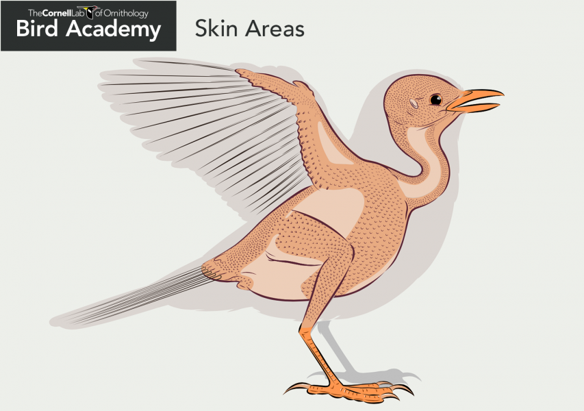 Bird anatomy diagram-Skin Areas