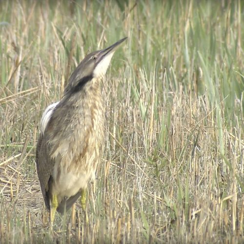 American-Bittern-Camouflage