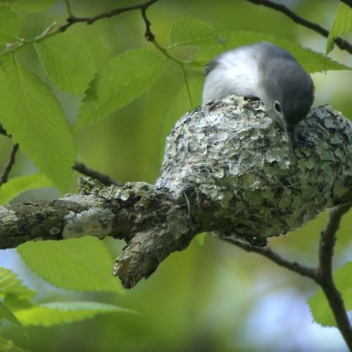 Blue-gray-Gnatcatcher-Tends-Nest
