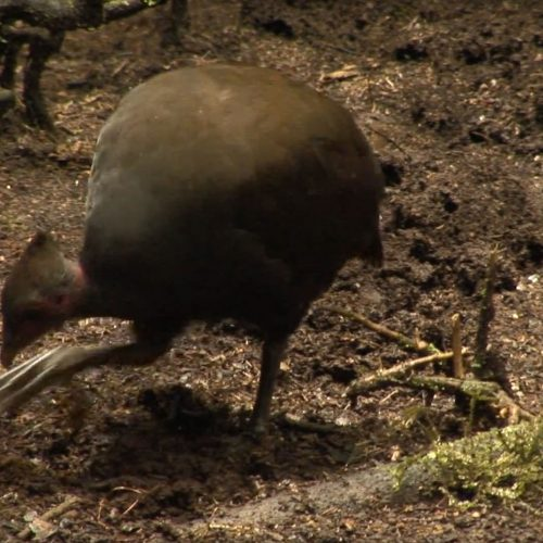 Dusky-Scrubfowl-foraging-with-feet