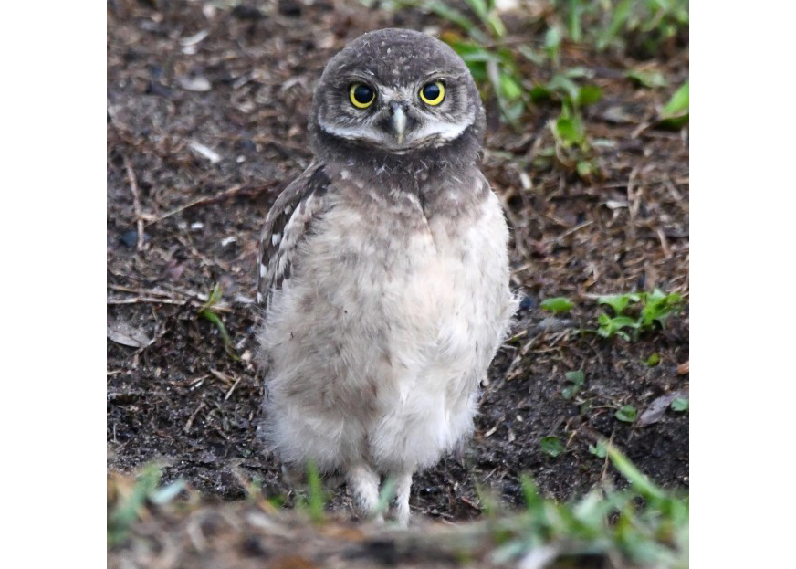 Small owl with dusty, pail belly, yellow eyes, and grey-spotted feathers.